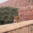 Agra Fort and monkey bussines