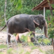 Elephant in the thai village